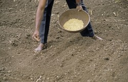 Indian farmer sowing seeds